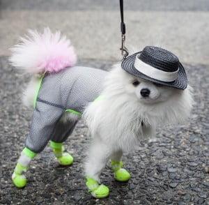 Zuzu, Fab Fashionista Dog @ #NYFW – Spring 2016